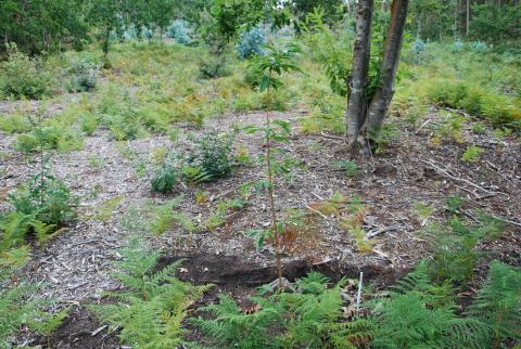 Plantación frondosas